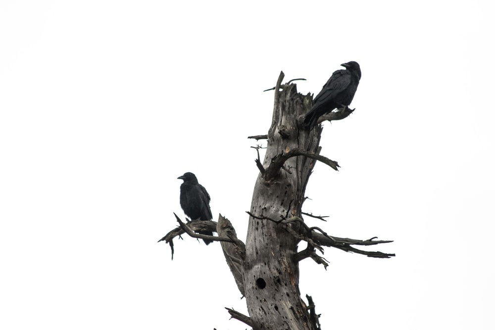 two crows on tree trunk