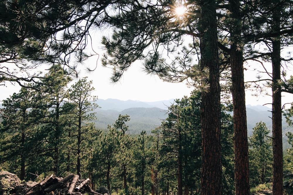 sunrays on green trees