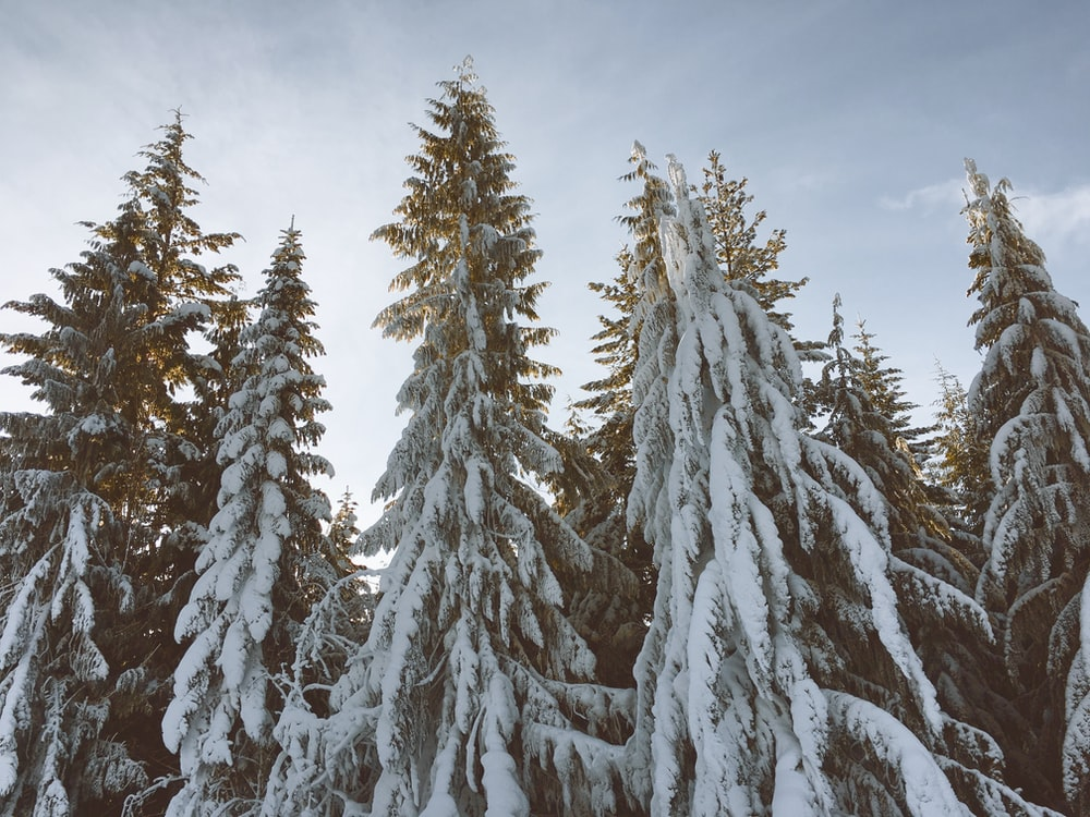 icy covered pine trees