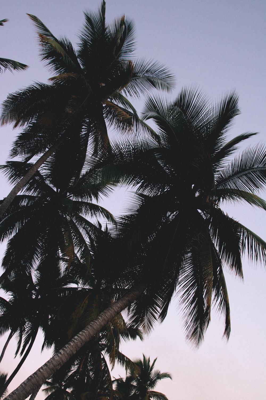 coconut palm foliage