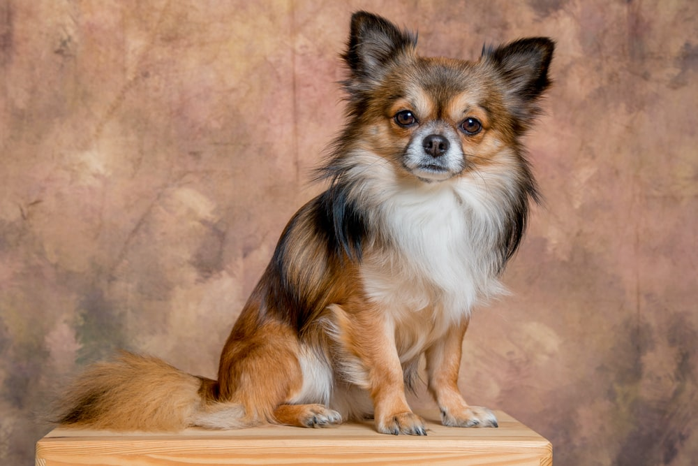 brown and black Chihuahua sitting on tabletop