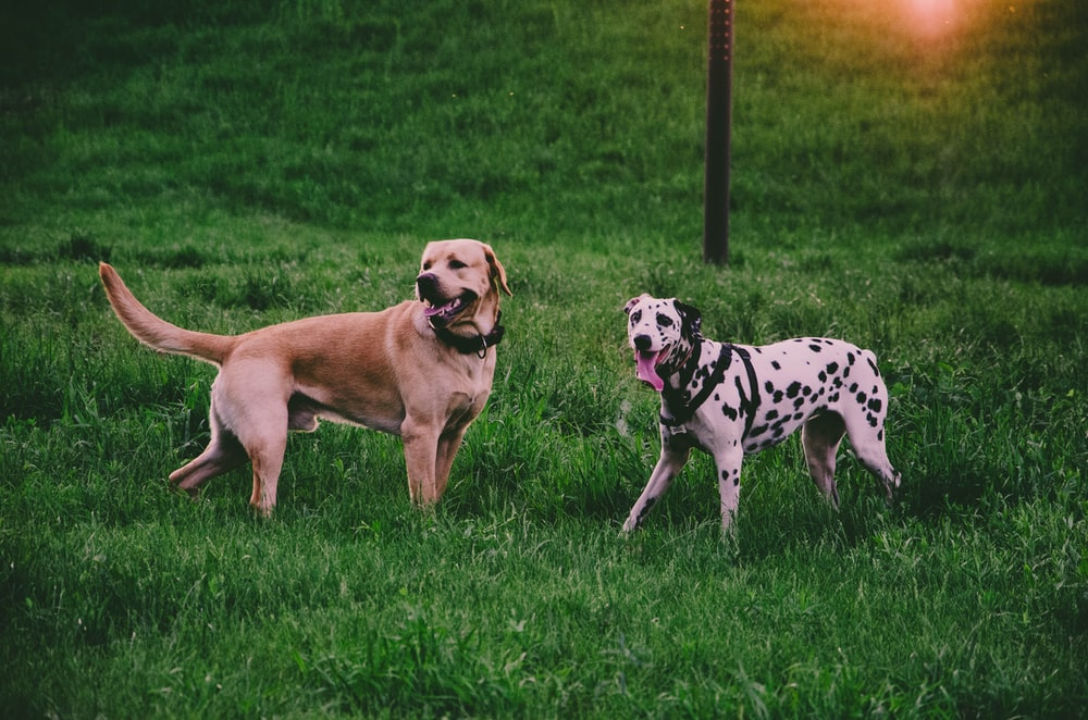 two adult tan dog and dalmatian