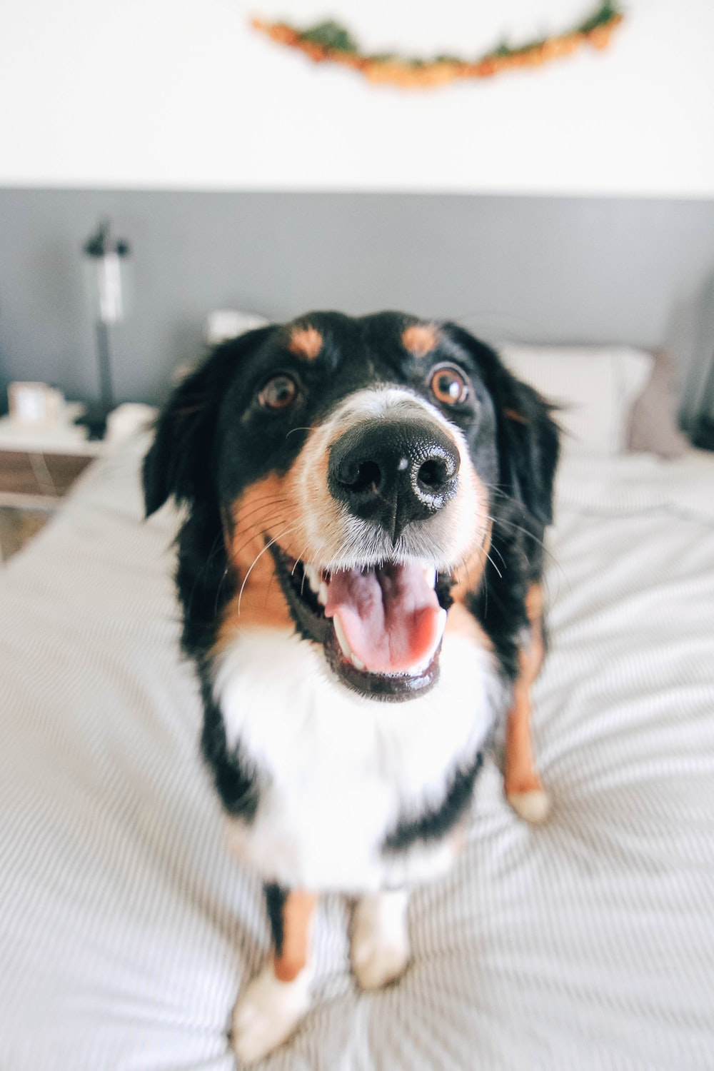 short-coated tricolor dog standing on bed