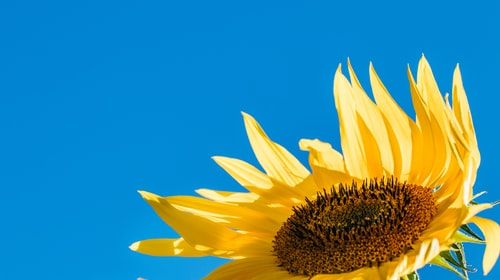 A Flower Blooms