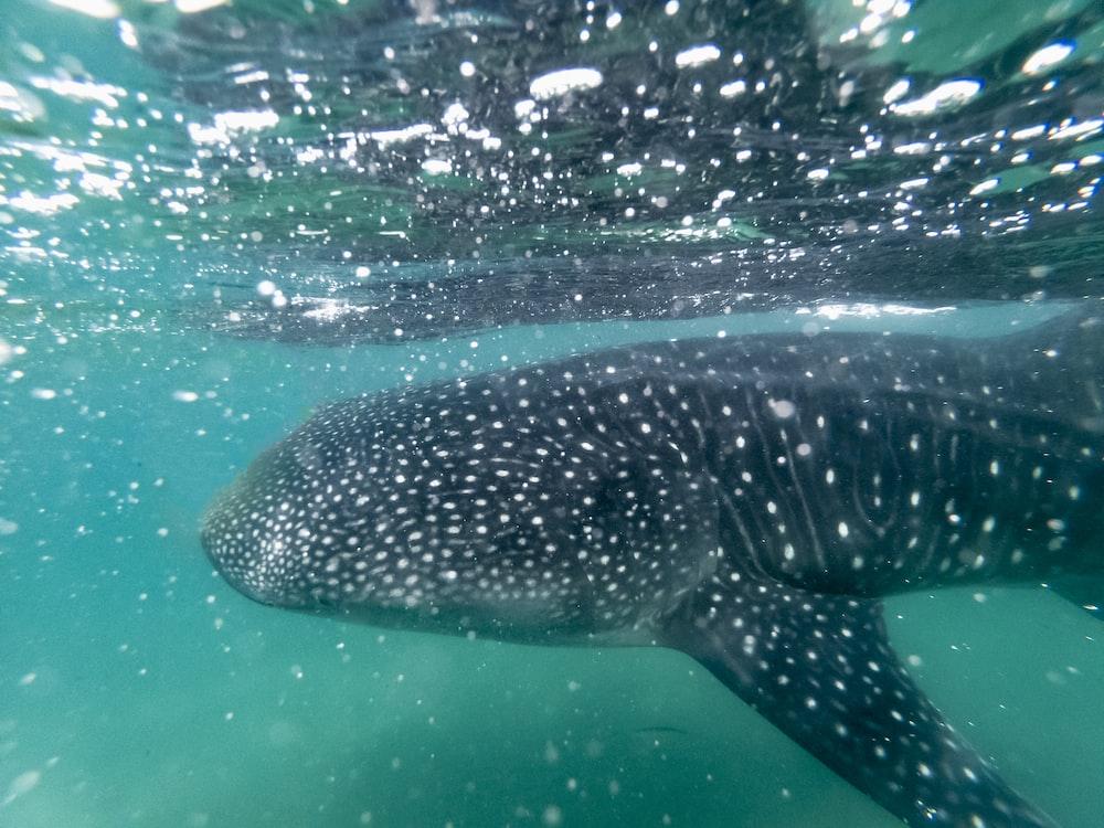 black whale shark underwater