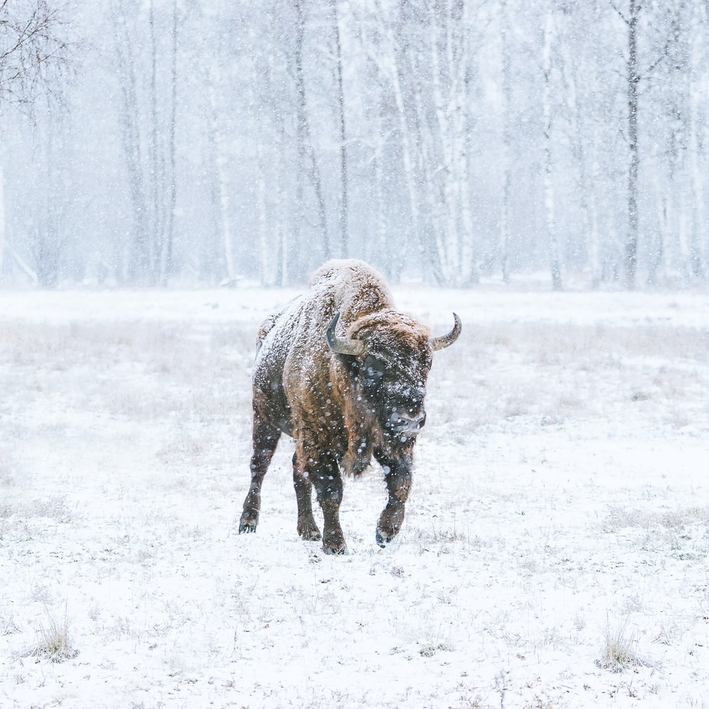 brown bison on snow covered field