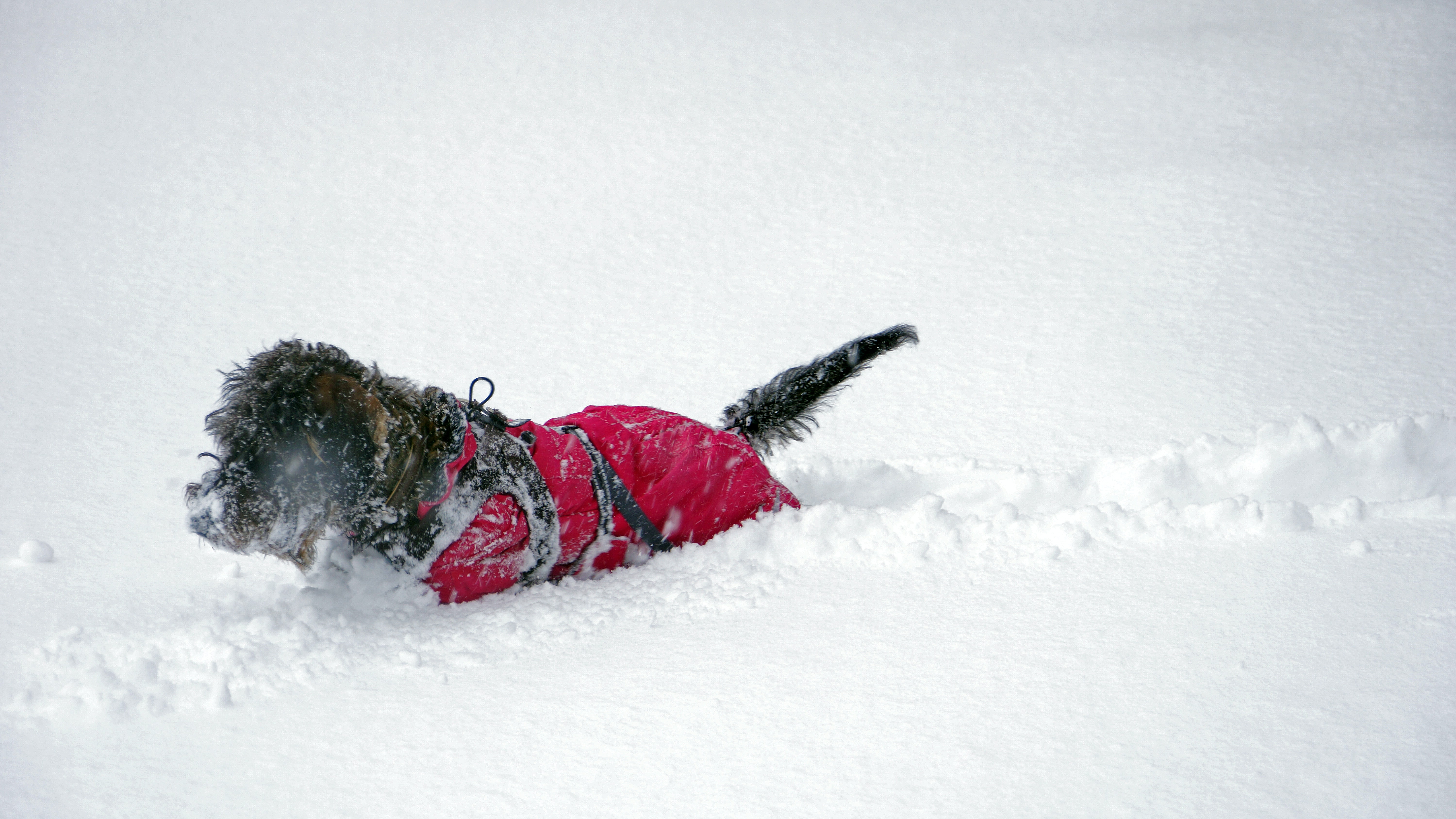 black dog wearing red jacket walking on thick snowfield