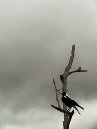 black crow resting on leafless tree under dark cloudy sky