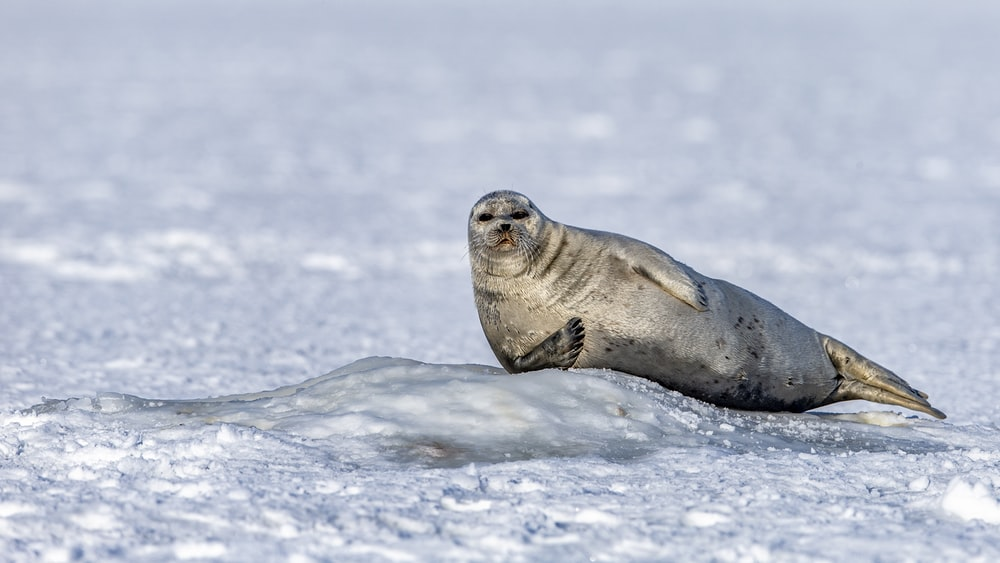 seal surrounded by snow