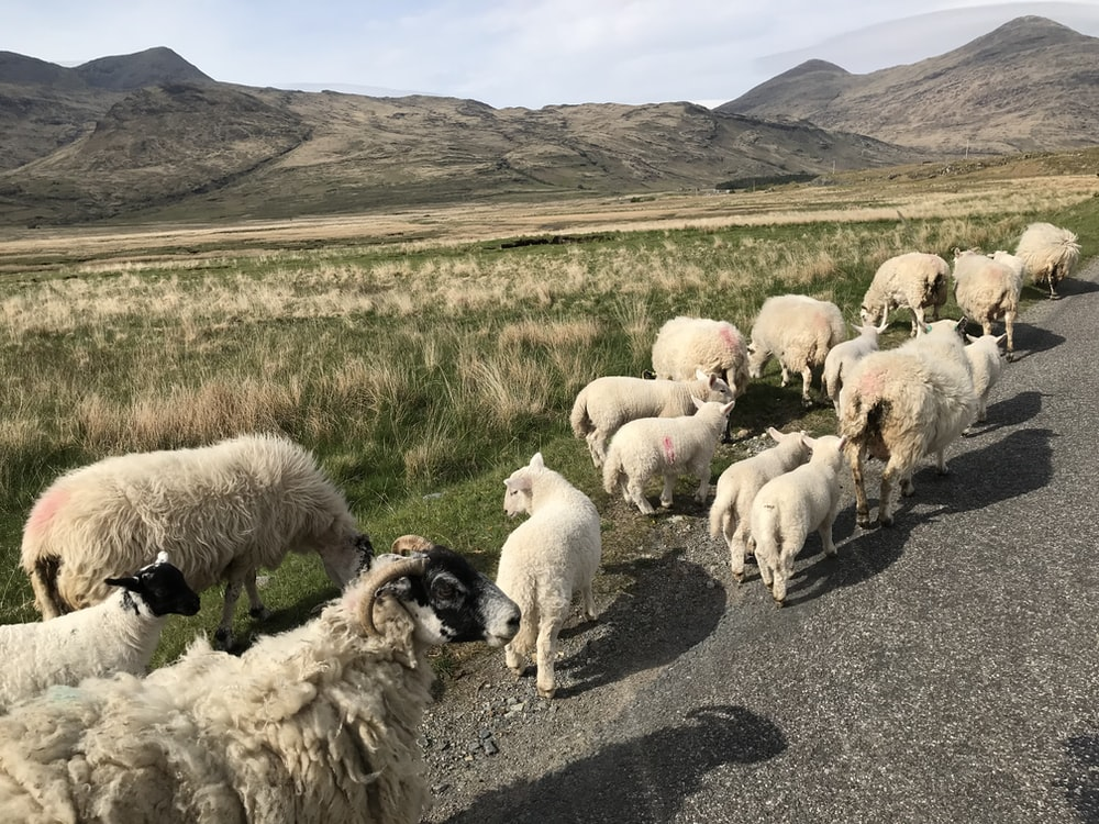 herd of sheeps on road during daytime
