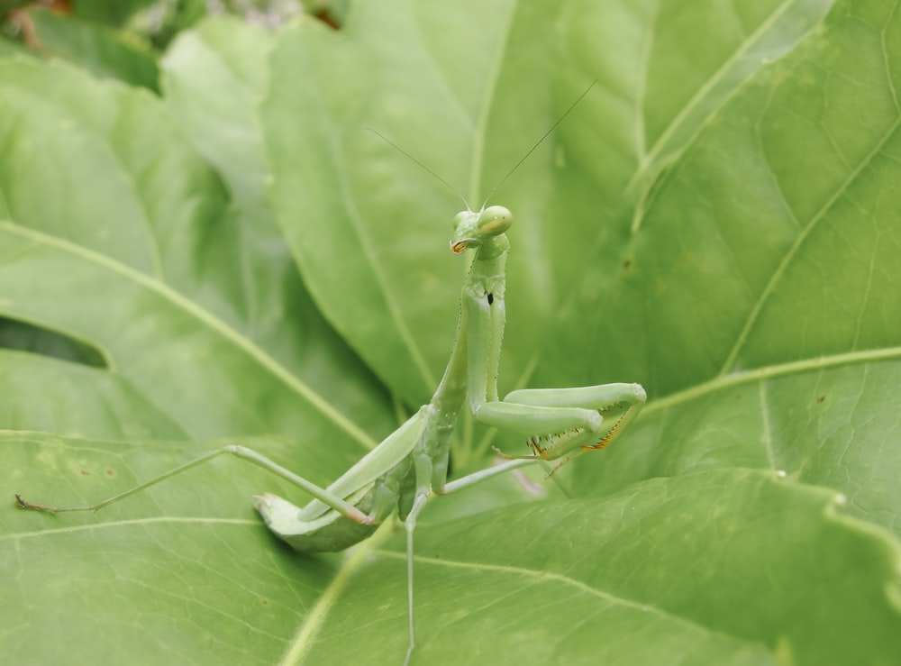 green praying mantis on green leaf