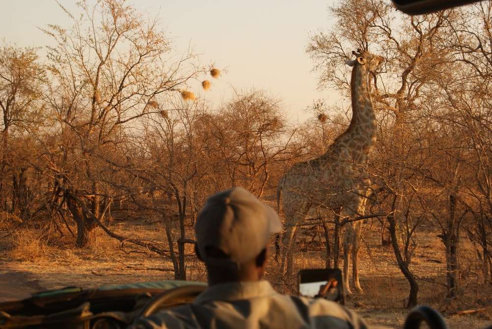 giraffe front of bare trees during daytime