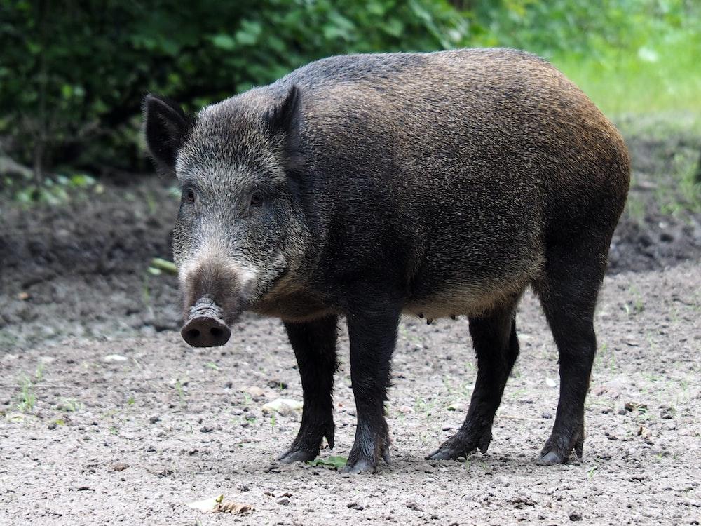 shallow focus photo of pig