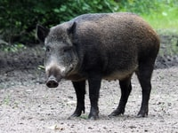 shallow focus photo of pig
