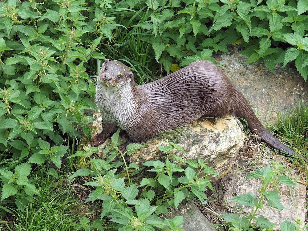 brown seal