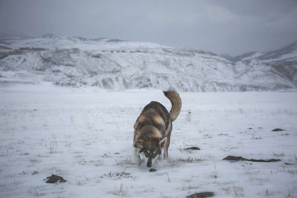 adult white and brown Siberian husky walking on snow