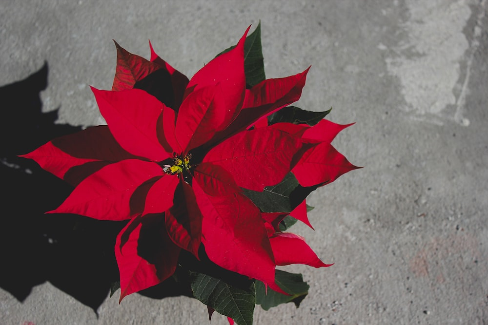 red poinsettia plants on gray surface