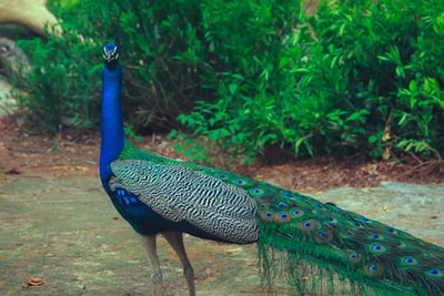 blue and green peacock near green grass