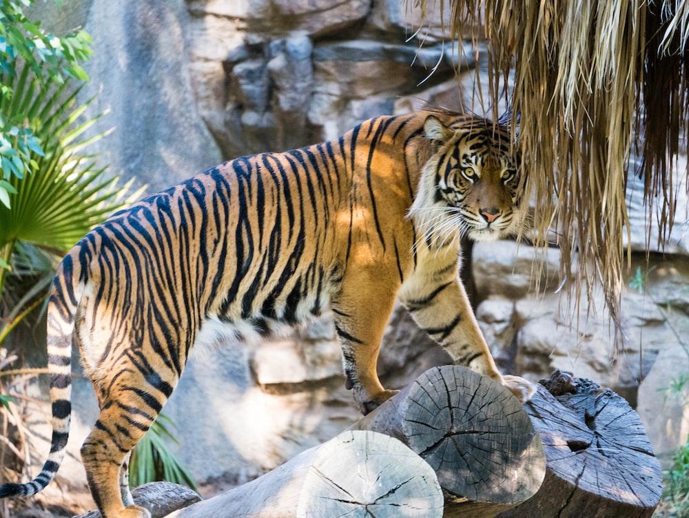 brown and black tiger on log