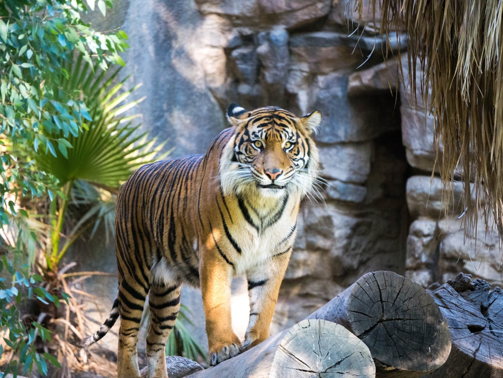 shallow focus of tiger beside green leafed plant