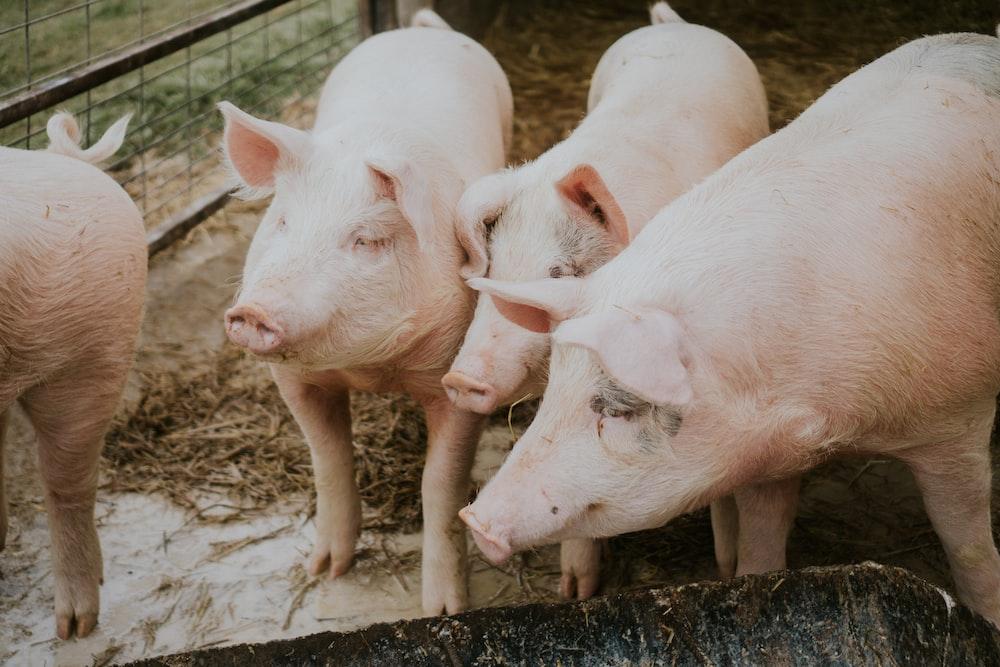 four swines