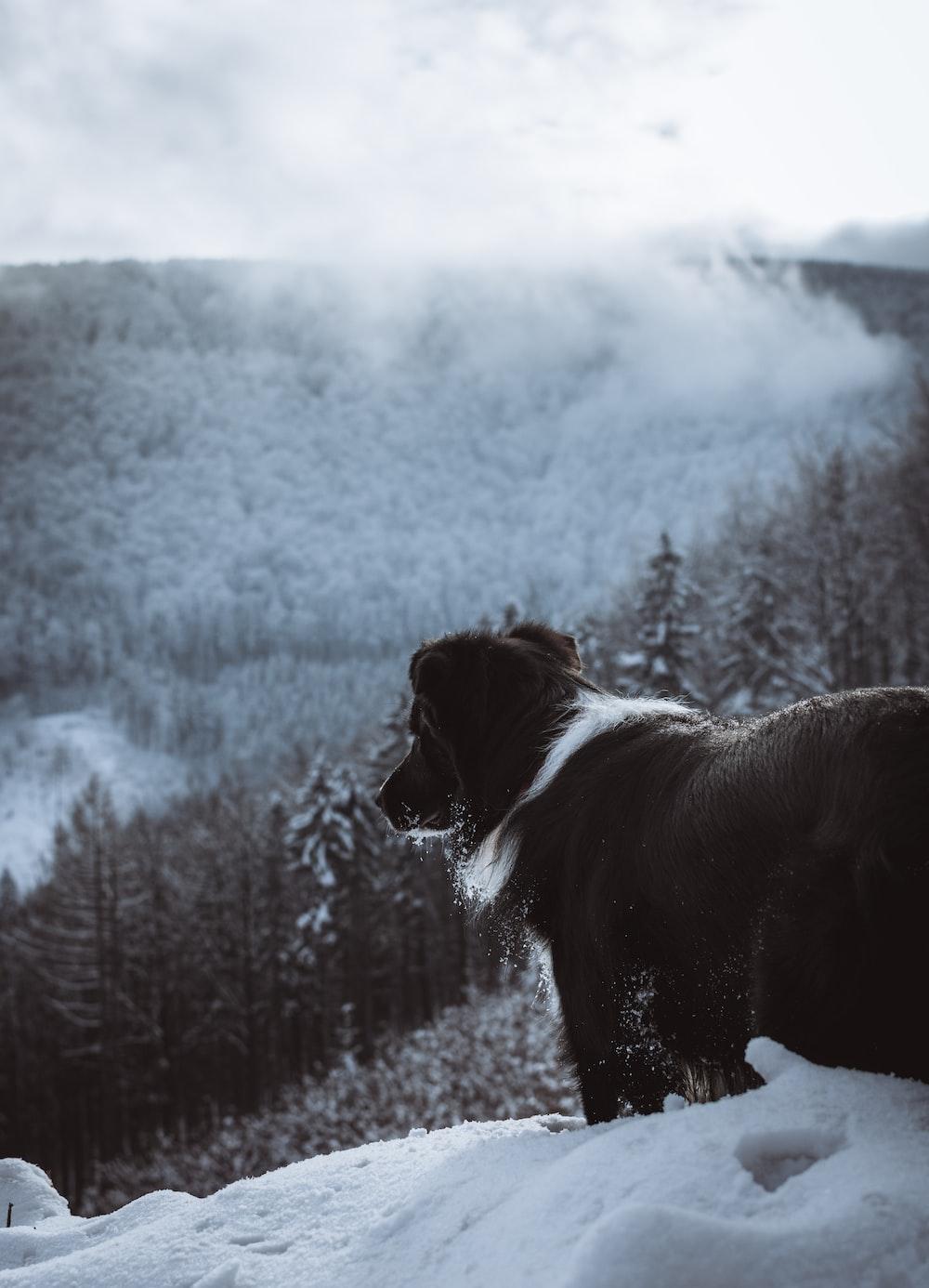 short-coated black and white dog