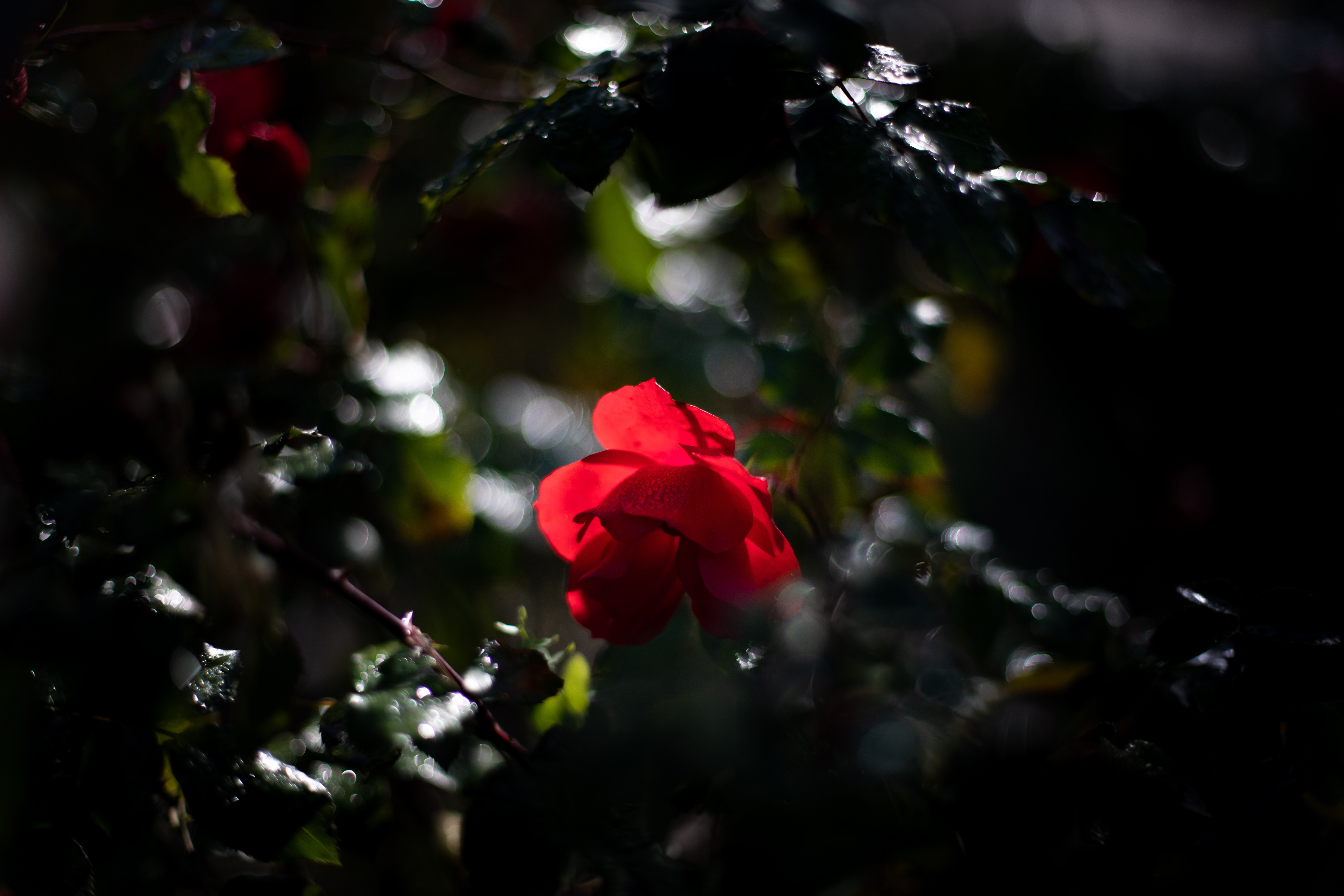 black and red petaled flowers