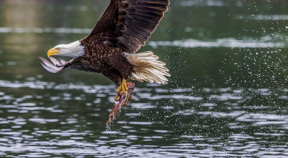 eagle fetching fish