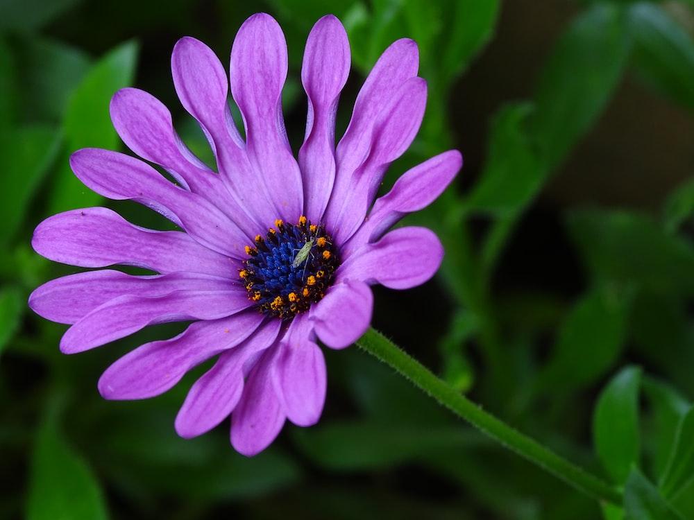 blooming purple petaled flower