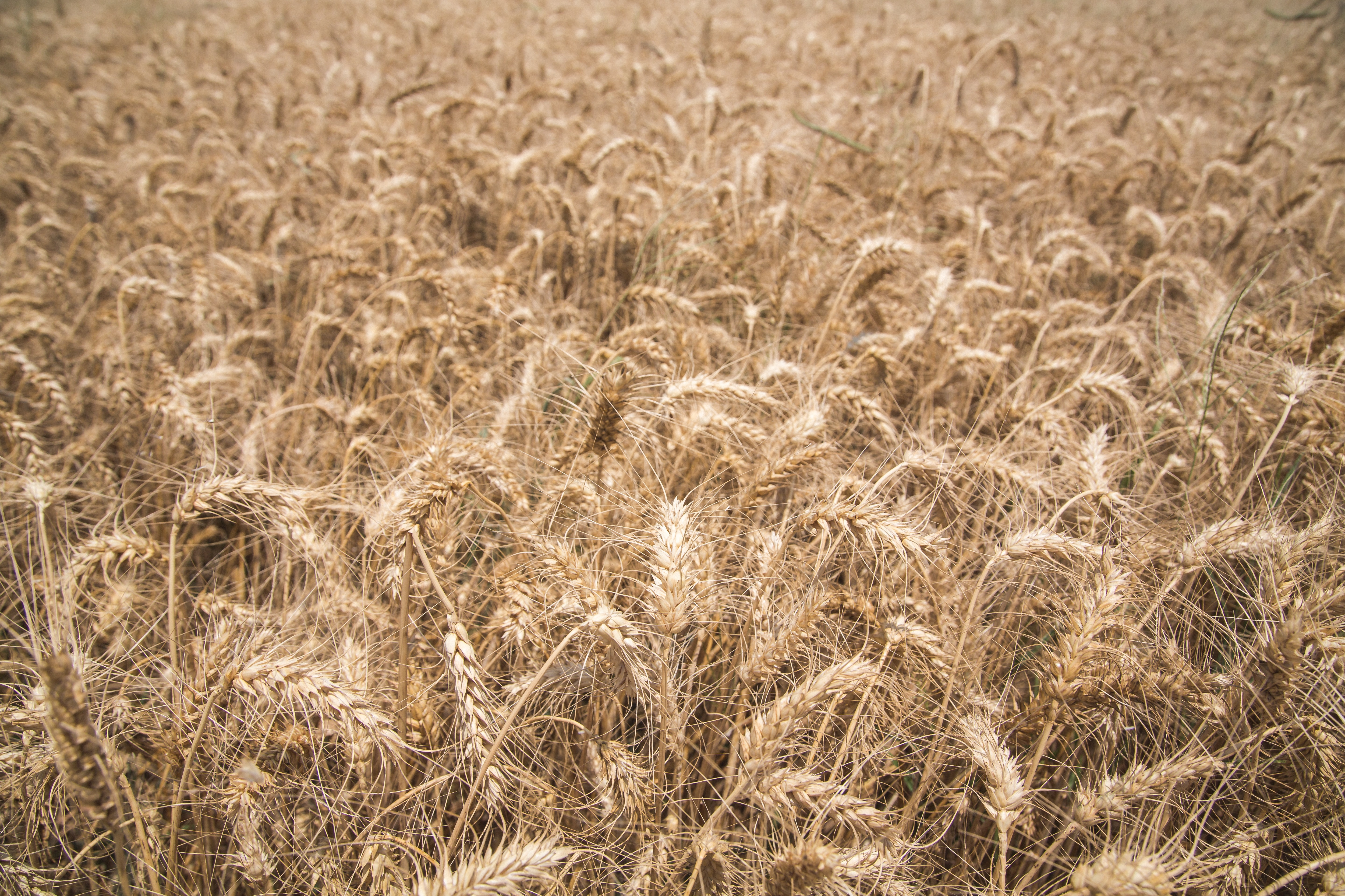close-up photography of dried wheats