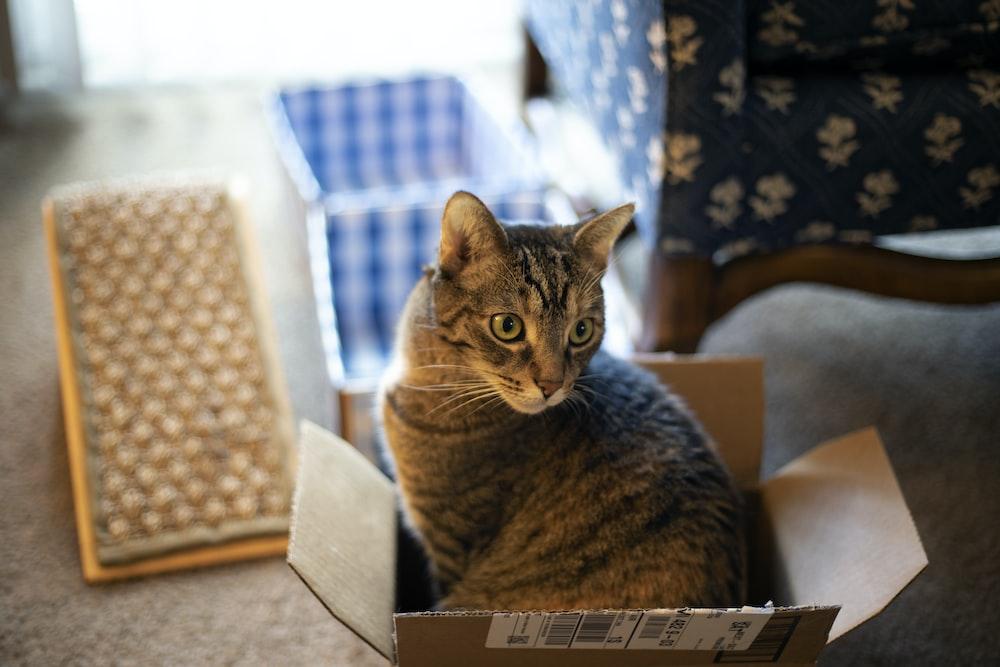 brown tabby cat in box