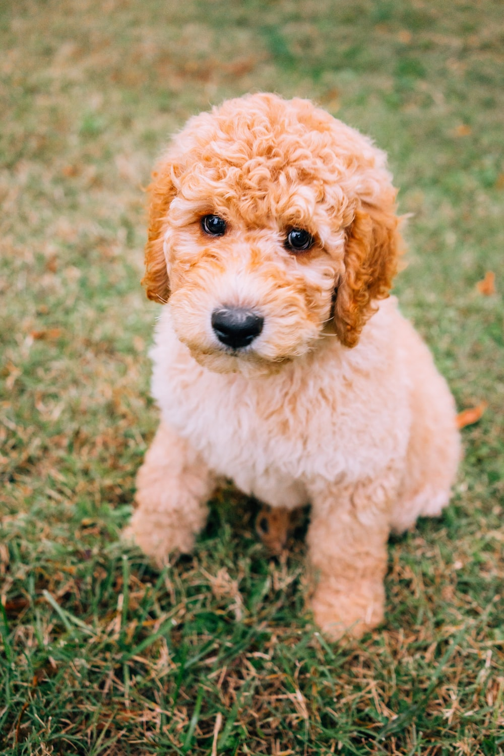 short-coated brown puppy sitting on green lawn