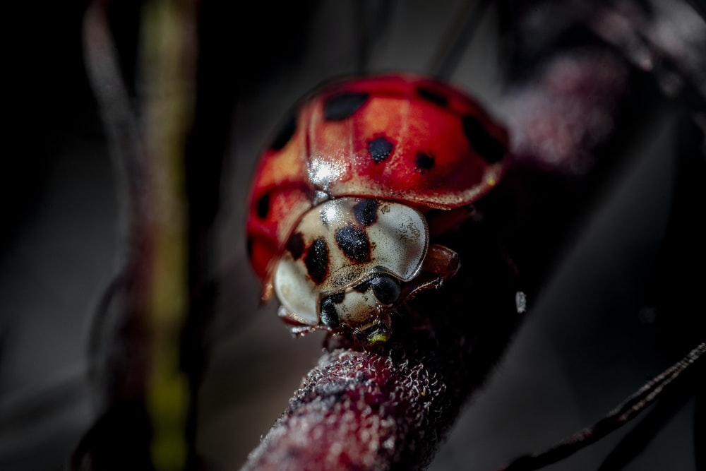 red and black ladybug