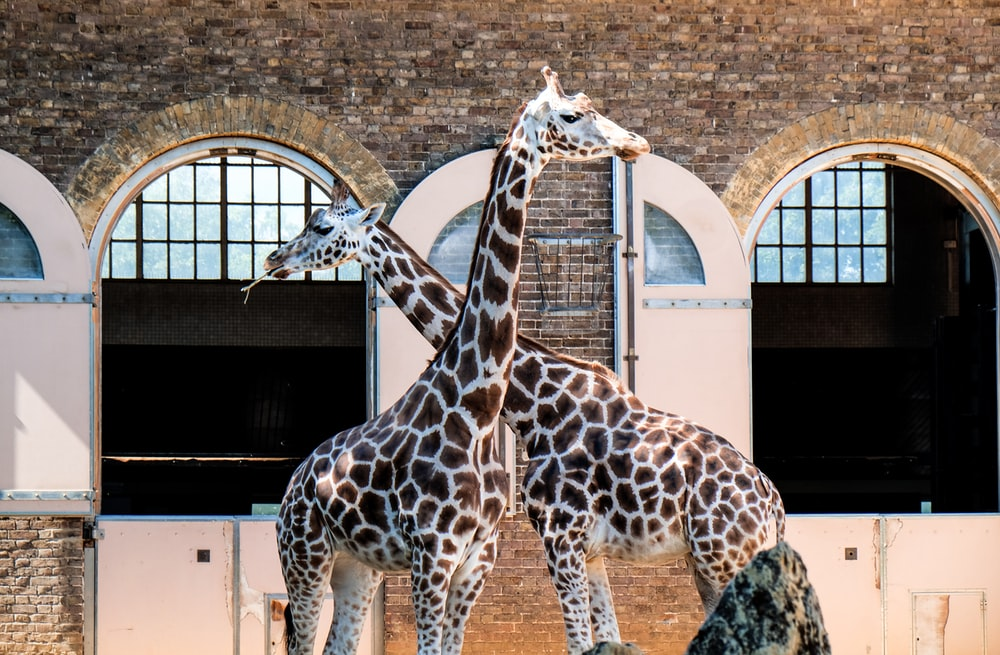 two giraffes in front of building