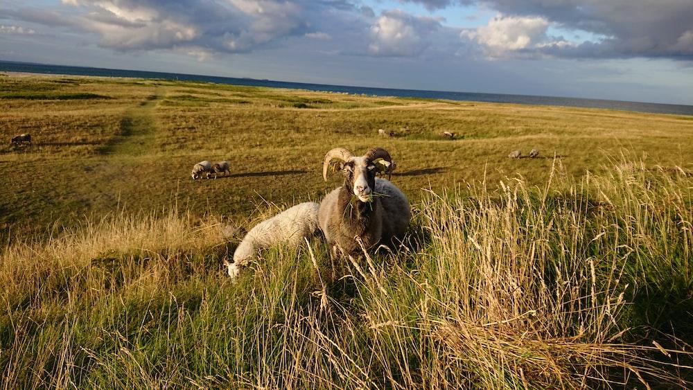 brown ram sitting on green grass field during daytime