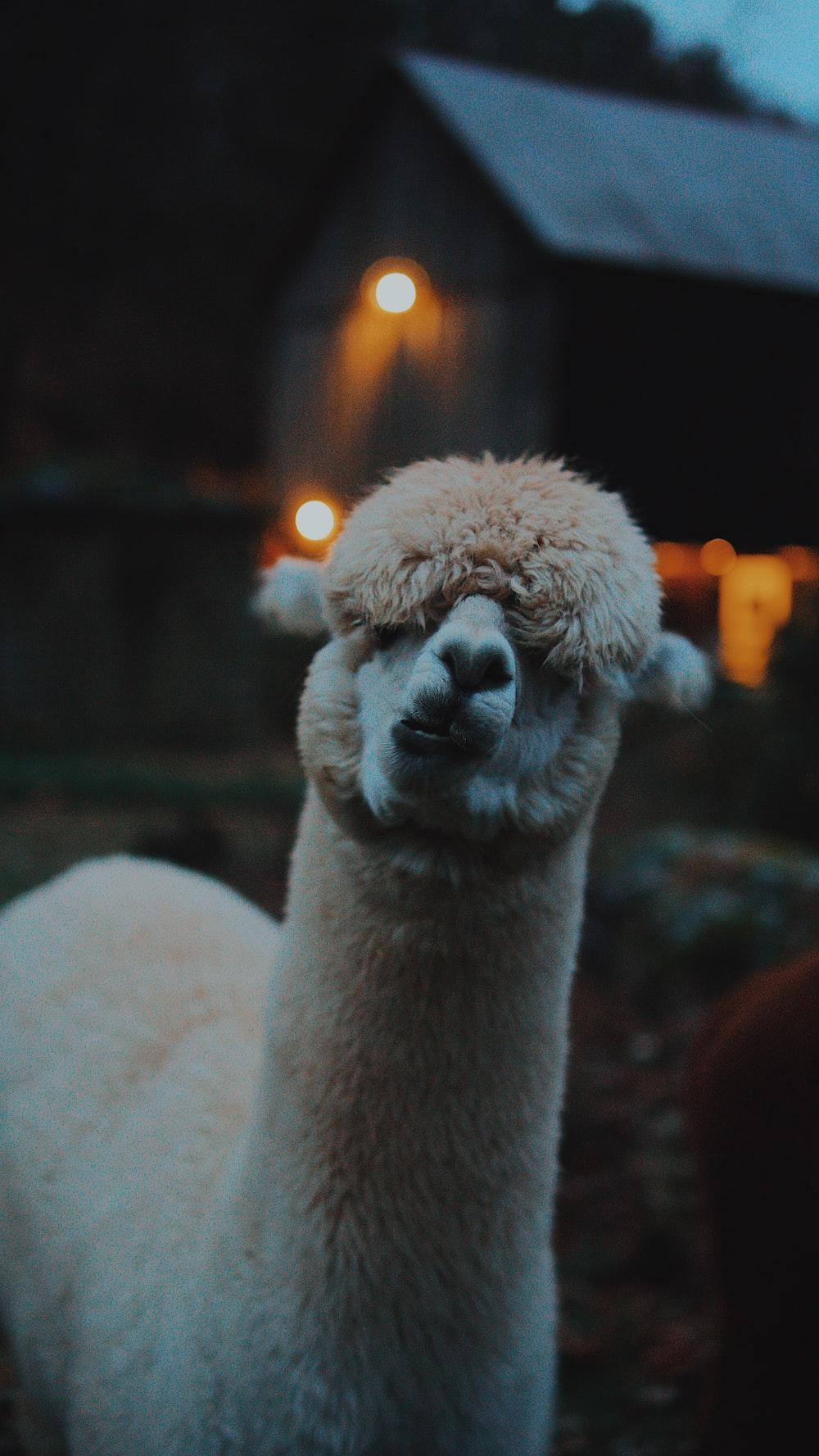 beige llama