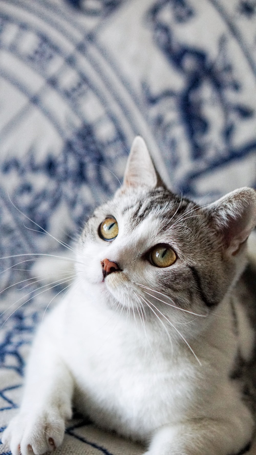 short-fur white and grey cat