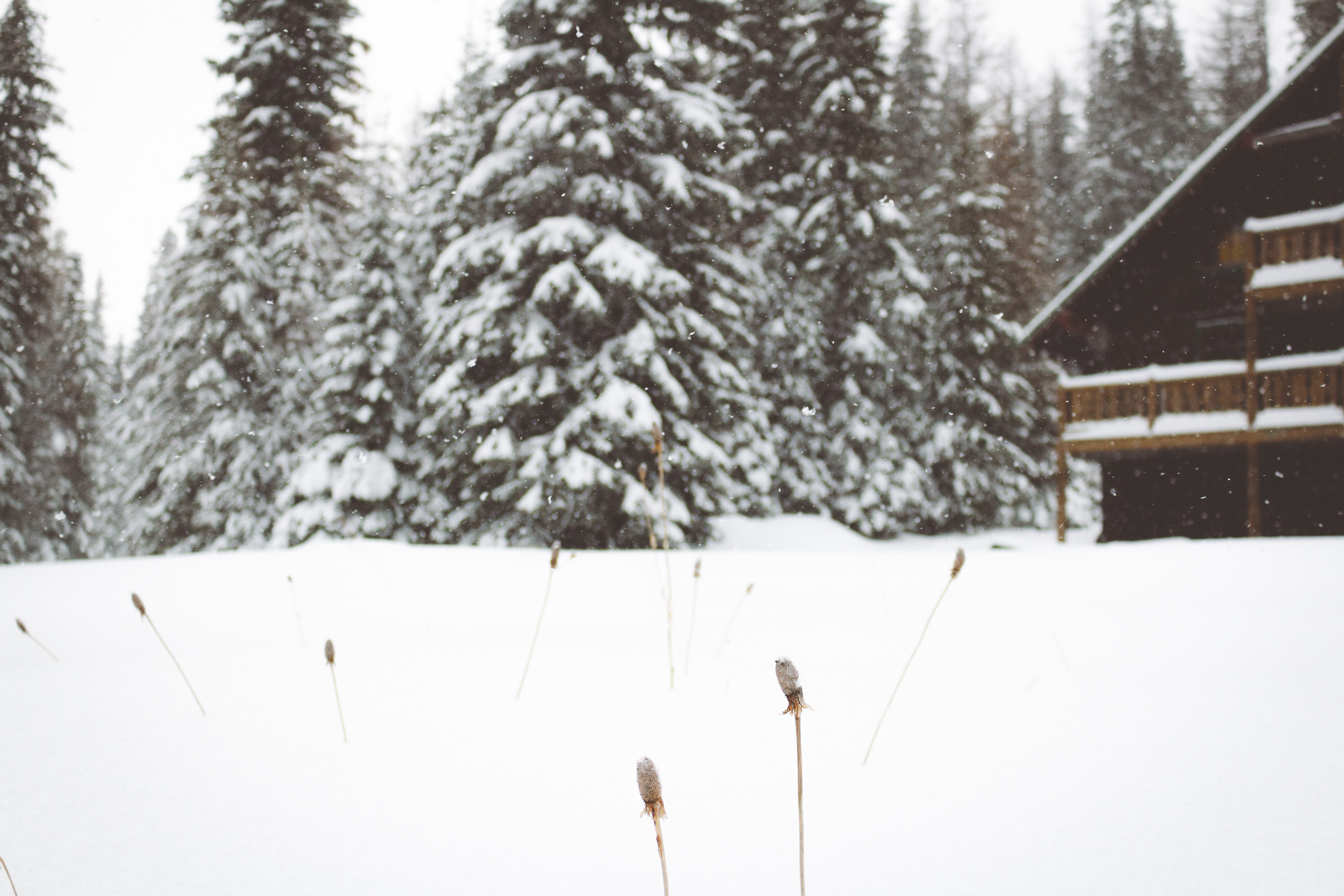 snow covered pine trees beside house