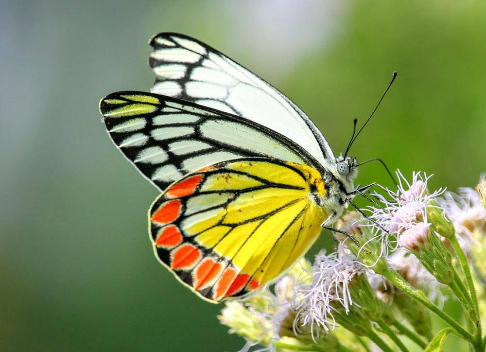 multicolored butterfly perch on white petaled flower