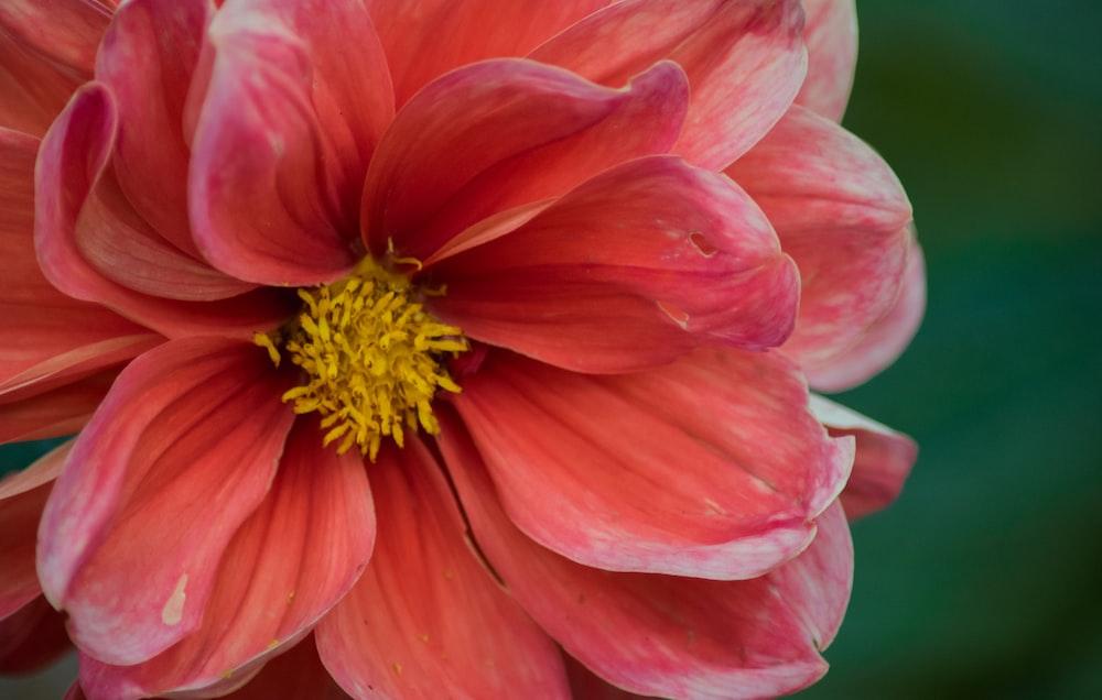blooming red petaled flower