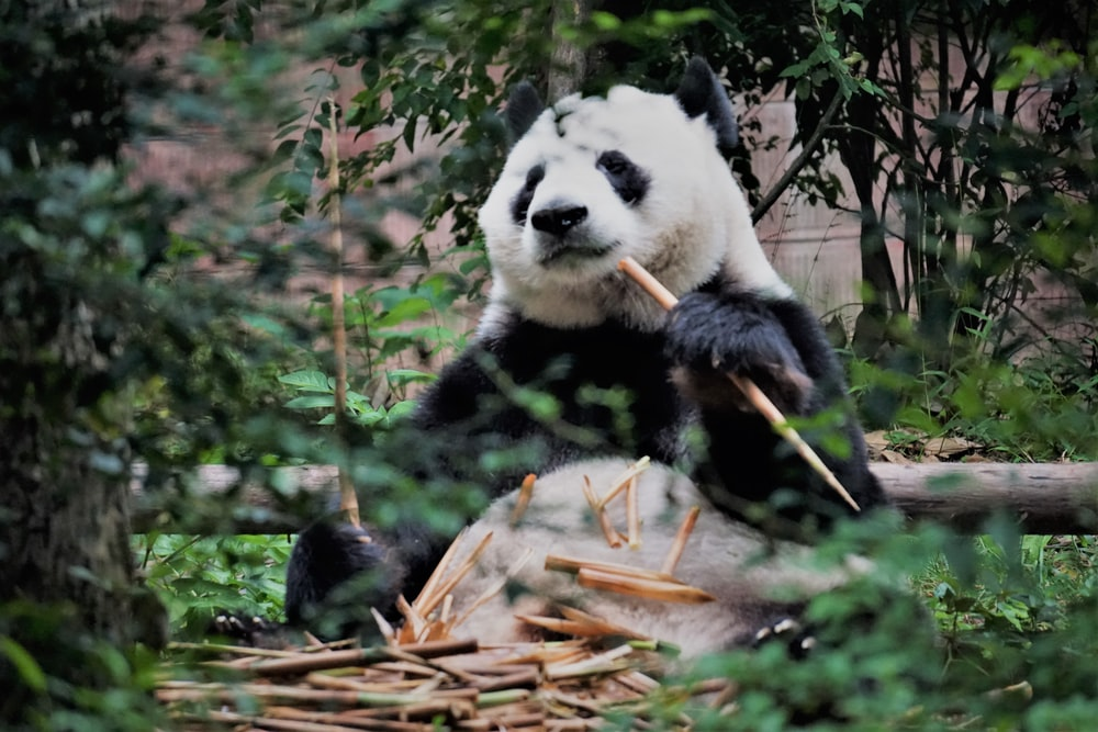 Panda sitting on floor surrounded by trees