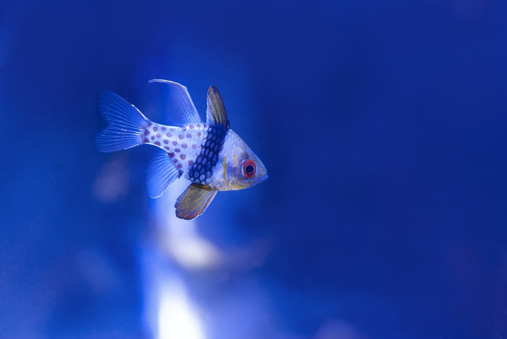 selected focus photography of white and blue fish