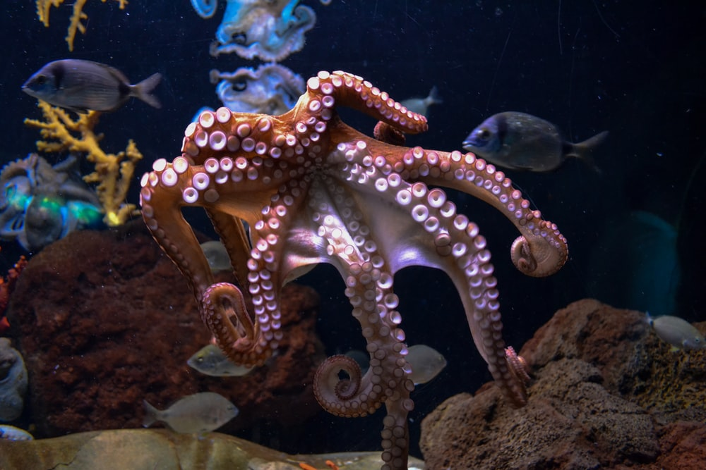 brown octopus