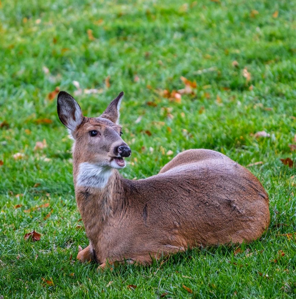 brown deer lying on ground