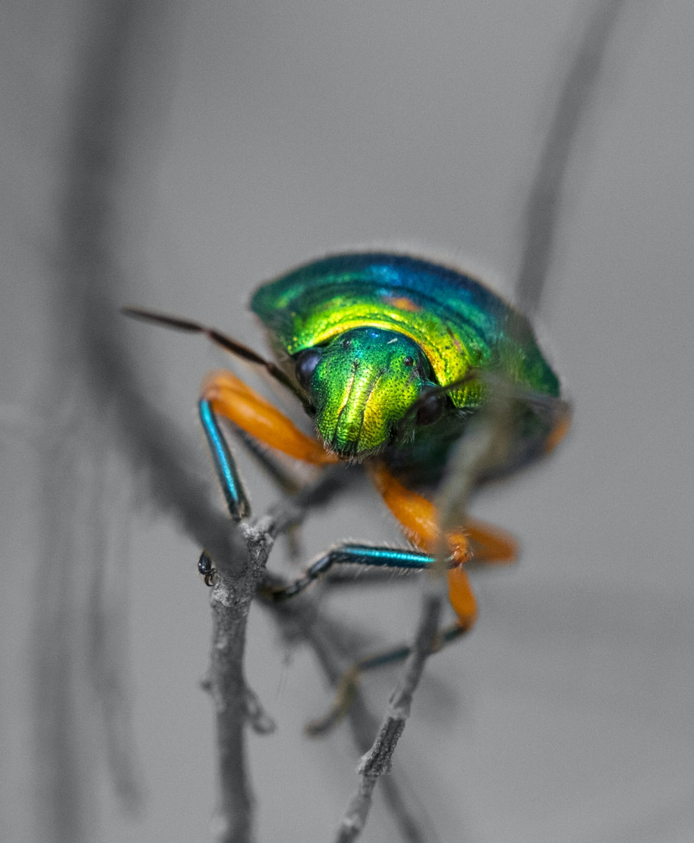 green and blue winged insect