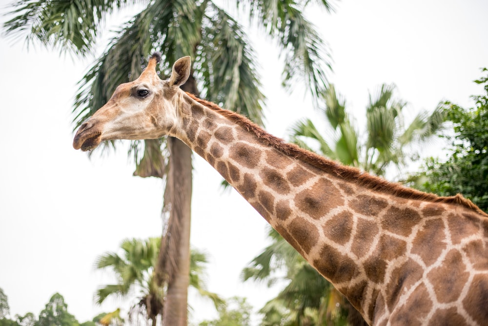low angle photo of giraffe