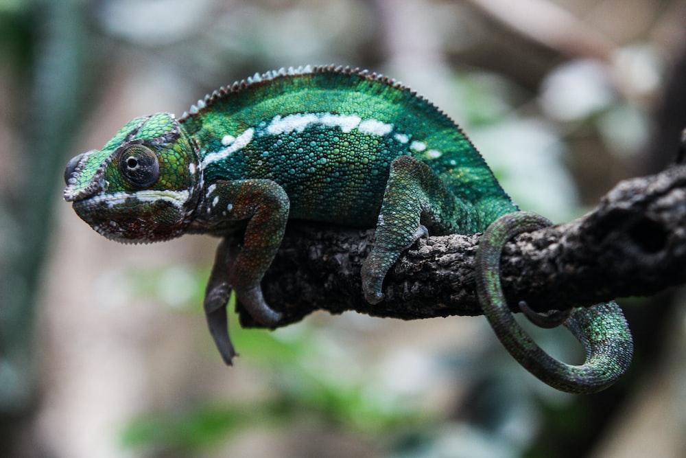 green bearded dragon
