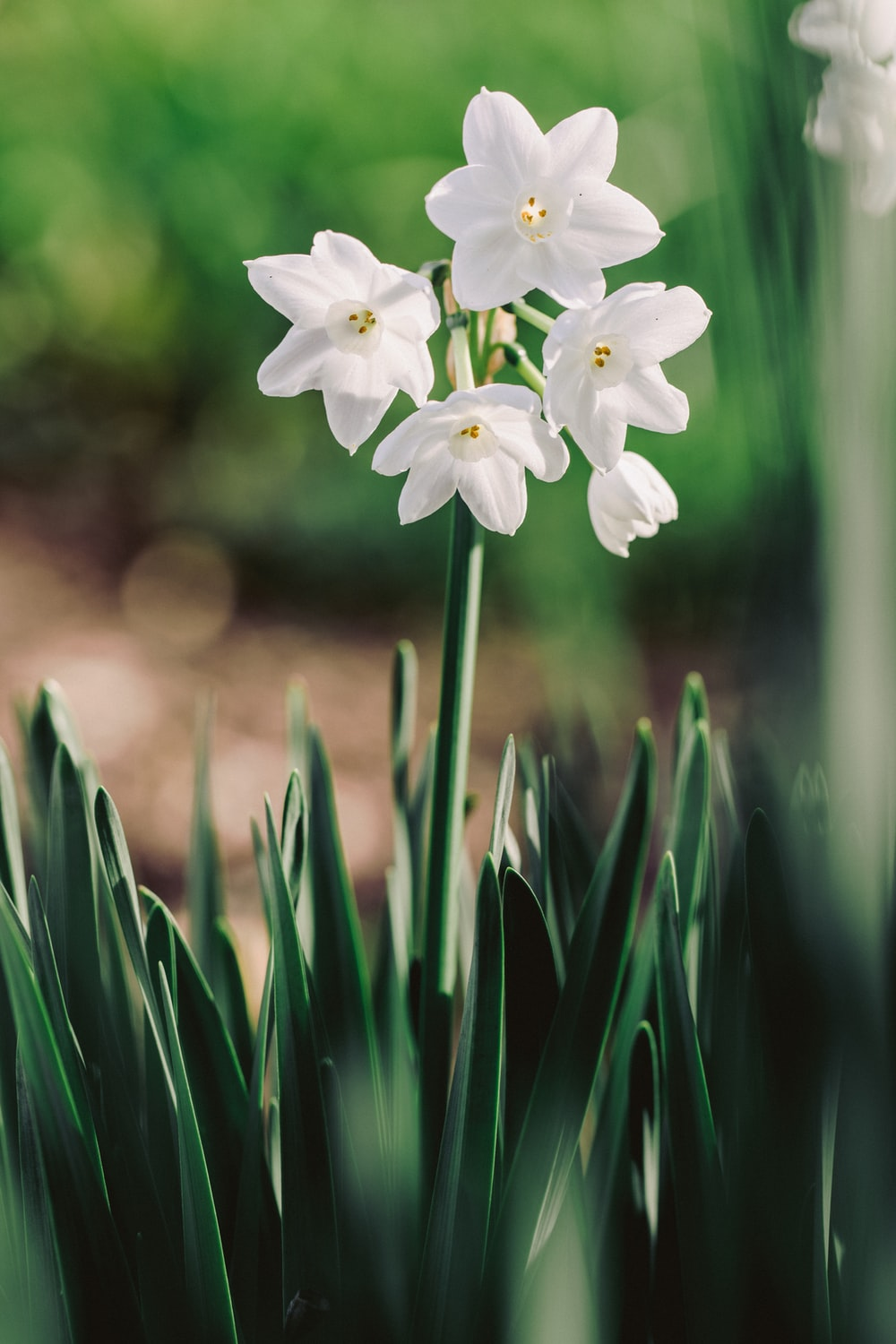 paperwhite daffodils in bloom close-up photography