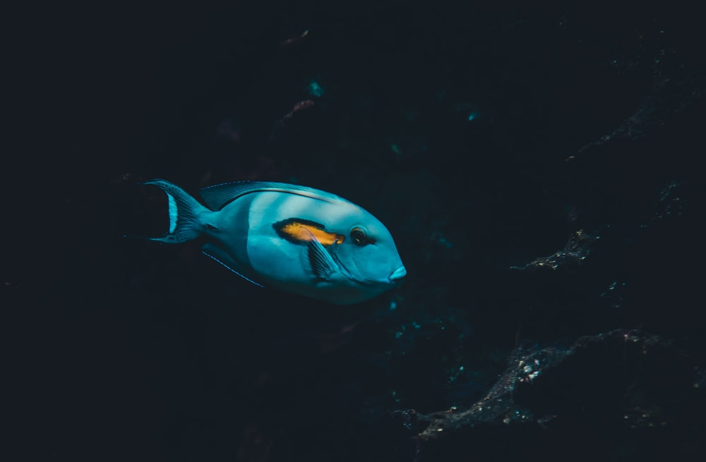 underwater photography of blue and yellow fish