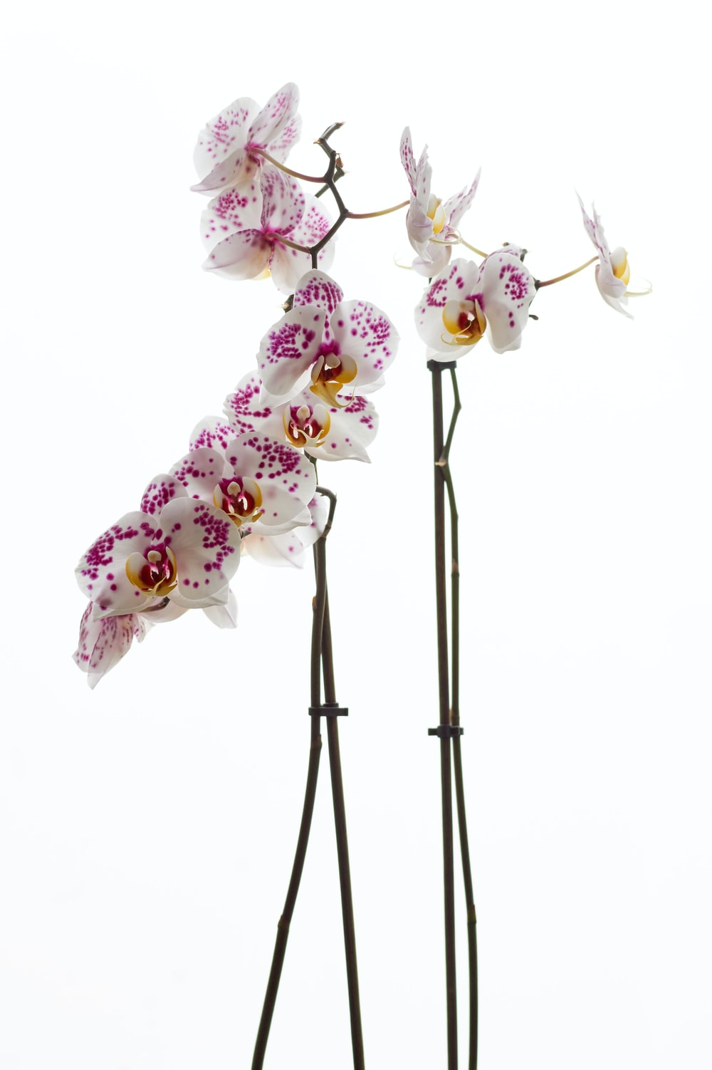 white and purple moth orchids